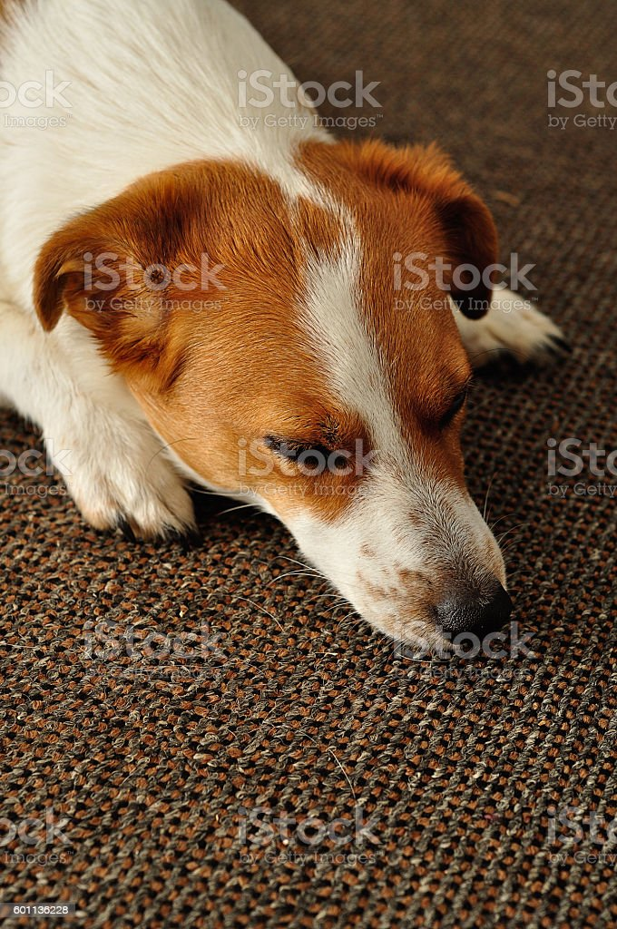 Jack Russell stock photo