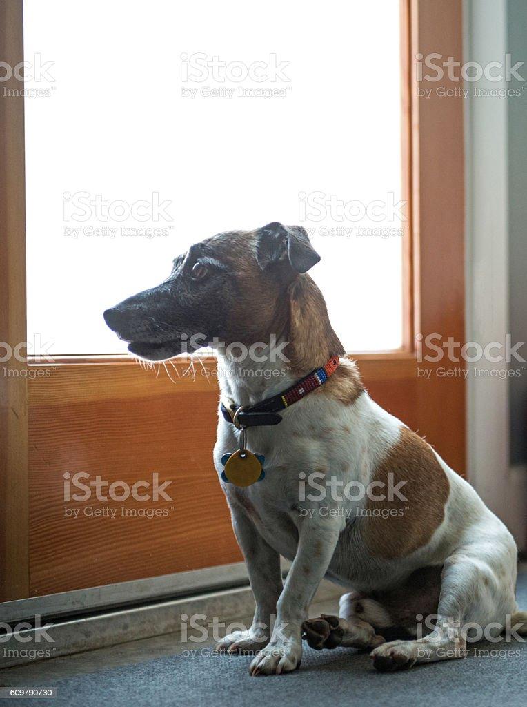 Jack Russell Posing the Front Door stock photo