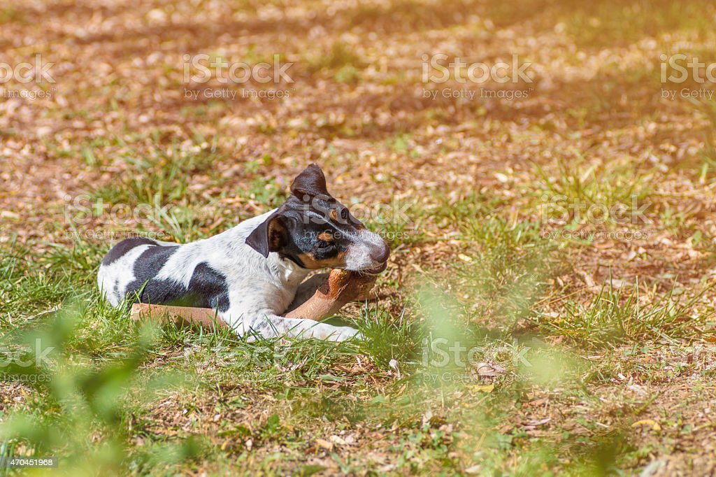 Jack russell puppy dog gnaws wooden stick in grass stock photo