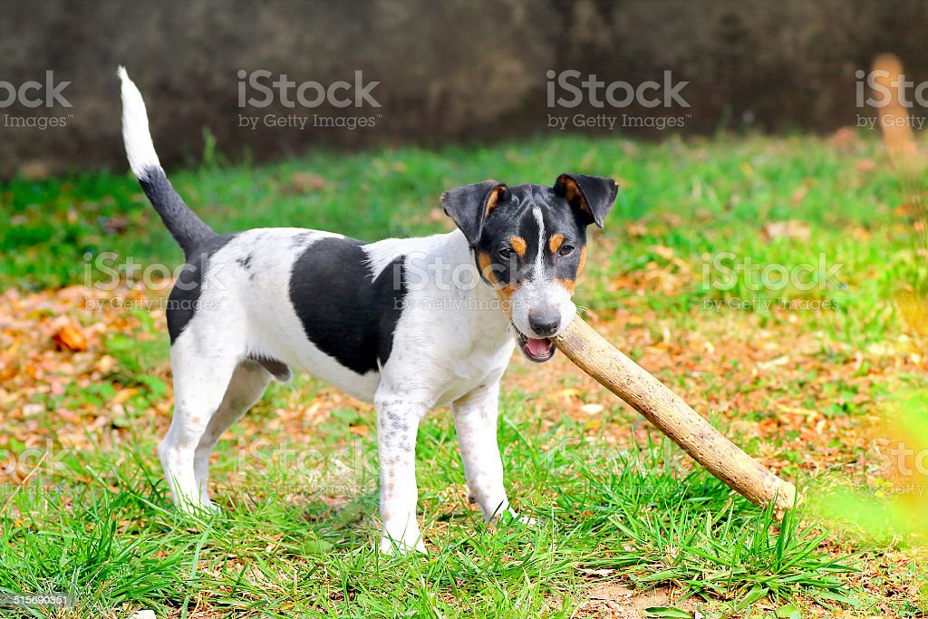 Jack russell puppy gnaws wooden stick stock photo