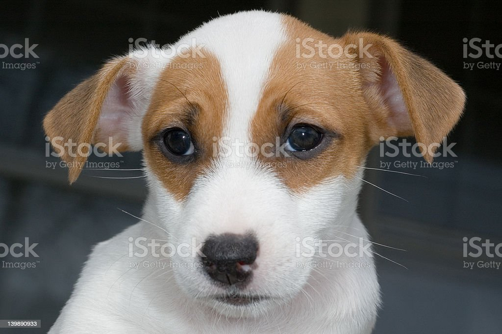 jack russell puppy royalty-free stock photo