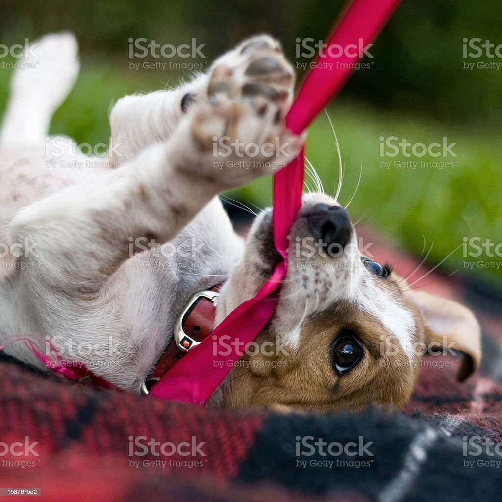 Jack Russell Puppy Playing stock photo