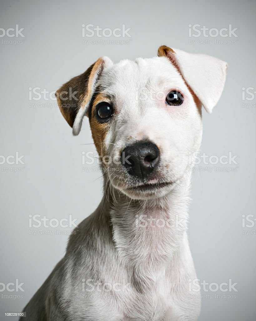 Jack Russell puppy portrait stock photo