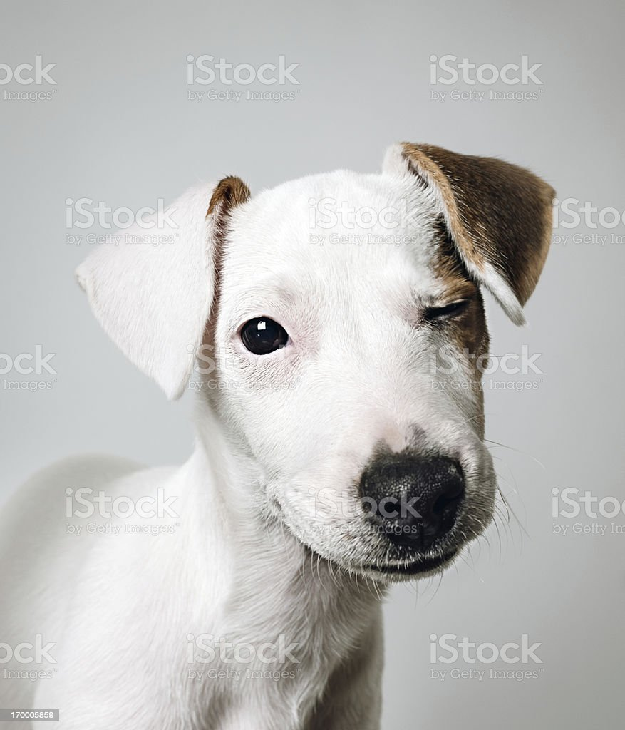 Jack Russell puppy portrait royalty-free stock photo