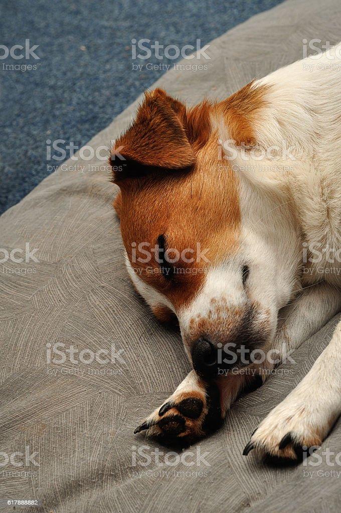 Jack Russell puppy sleepy on a Grey cushion stock photo