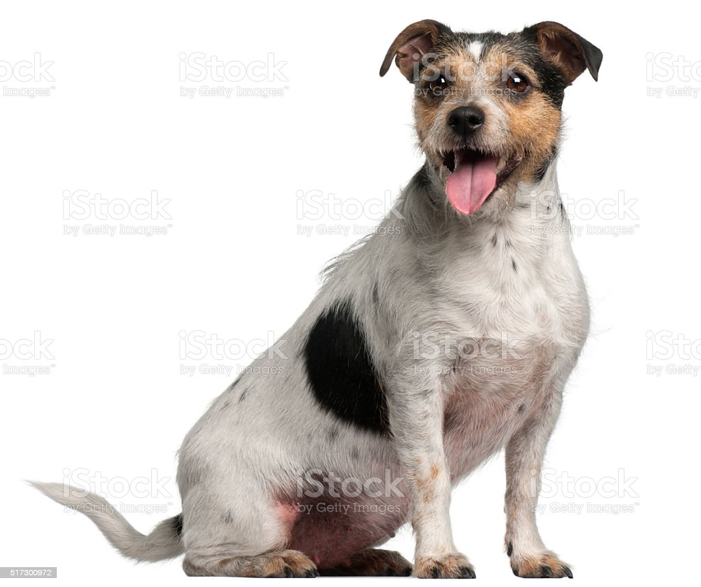 Jack Russell Terrier, 4 years old, sitting stock photo