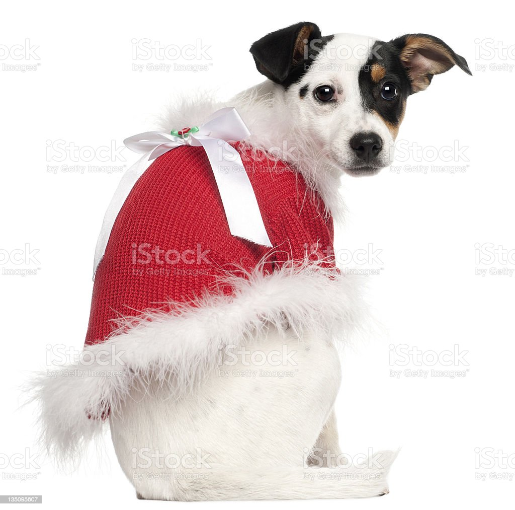 Jack Russell Terrier, 5 months old, wearing a Christmas jumper royalty-free stock photo