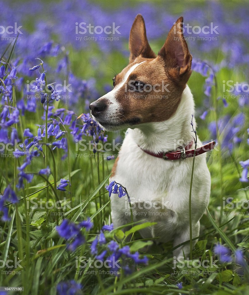 Jack Russell terrier among bluebells royalty-free stock photo