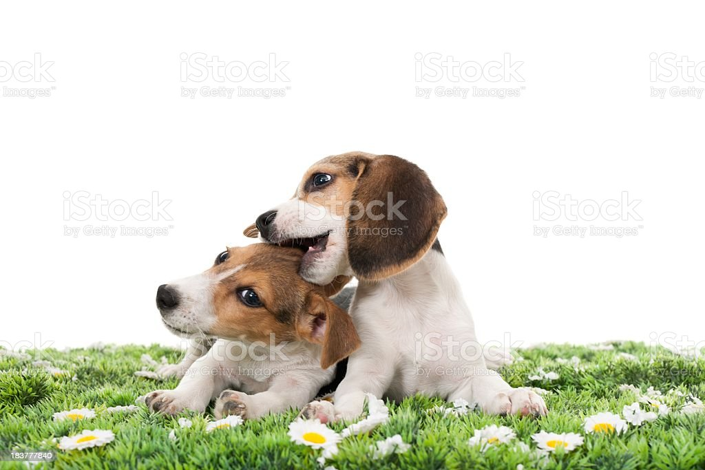 jack russell terrier and beagle royalty-free stock photo