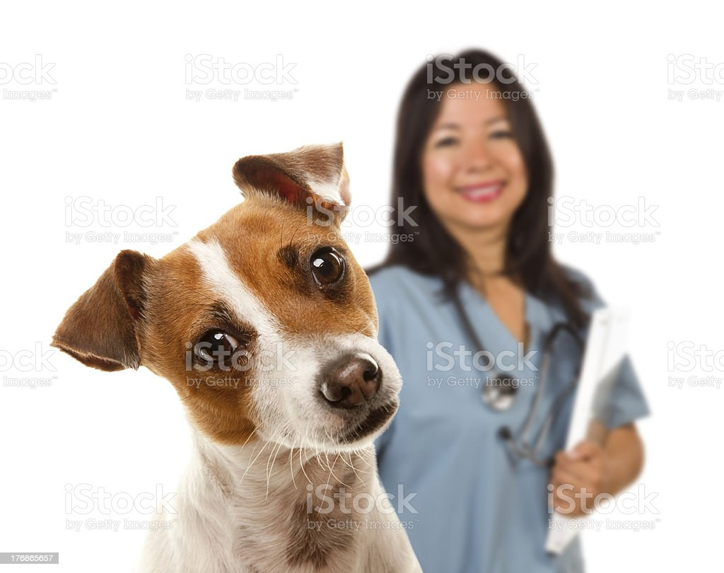 Jack Russell Terrier and Female Veterinarian Behind royalty-free stock photo