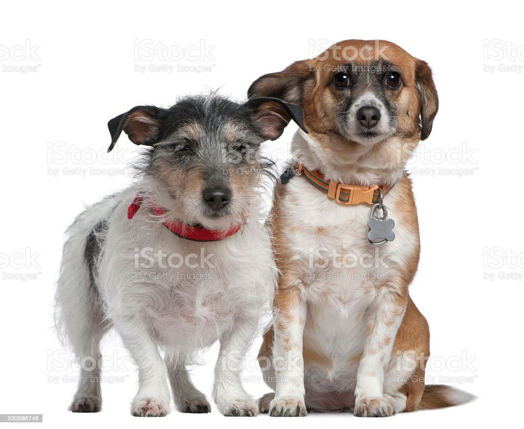 Jack Russell Terrier and Mixed-breed dog stock photo