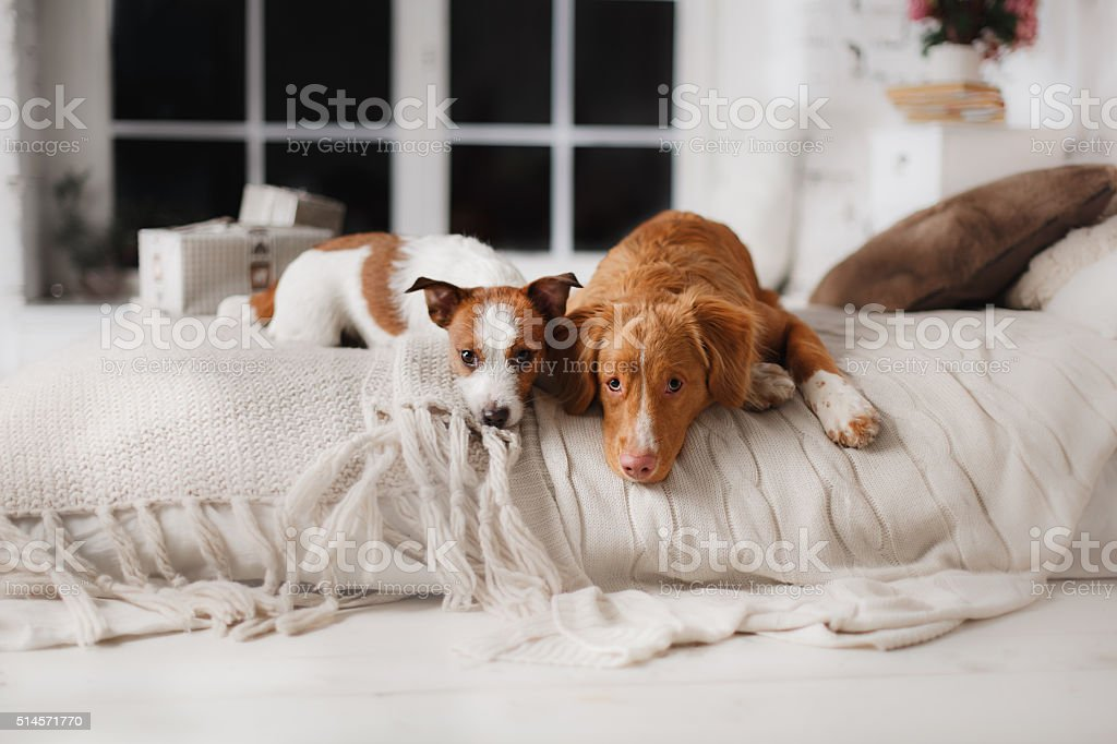 Jack Russell Terrier and Nova Scotia Duck Tolling Retriever stock photo