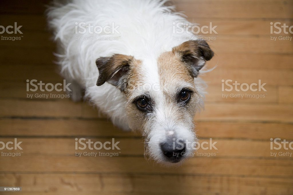Jack Russell Terrier Begging stock photo