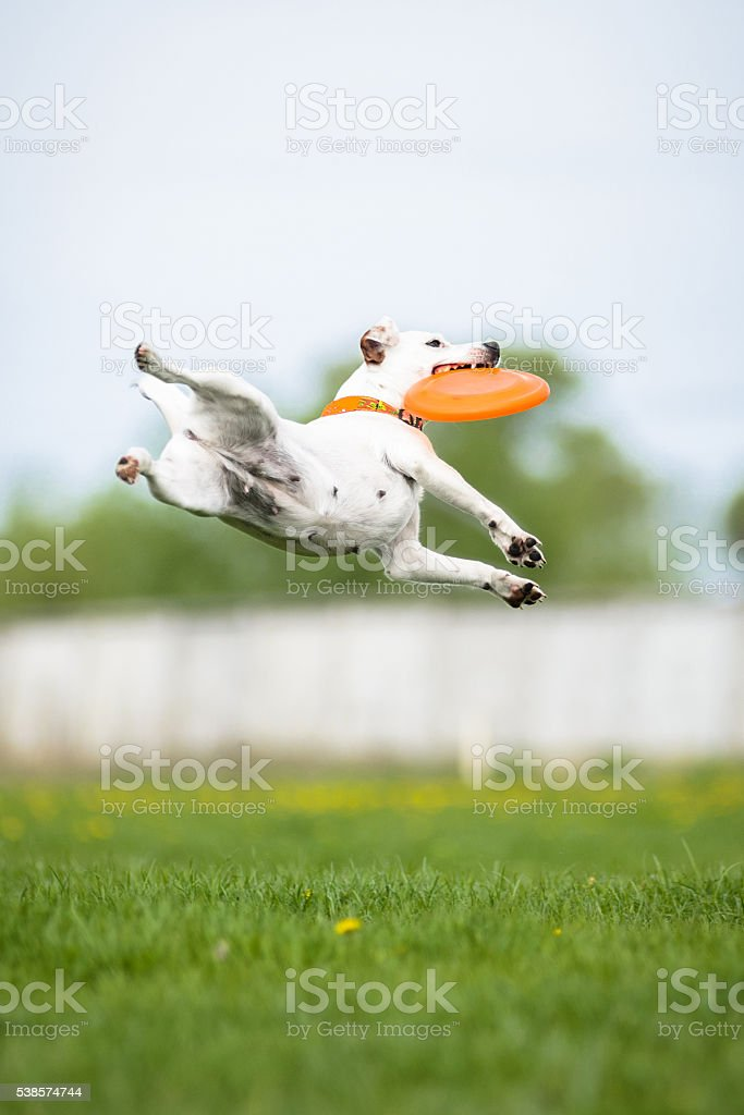 Jack Russell Terrier catching frisbee disk in jump stock photo