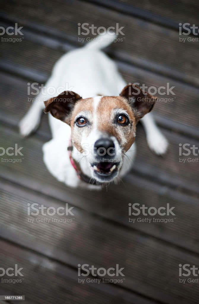 Jack Russell Terrier dog barking stock photo