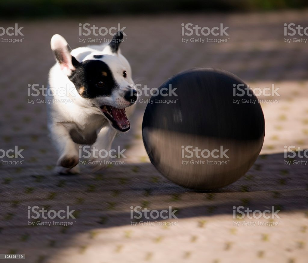 Jack Russell Terrier Dog Chasing Ball. Color Image royalty-free stock photo