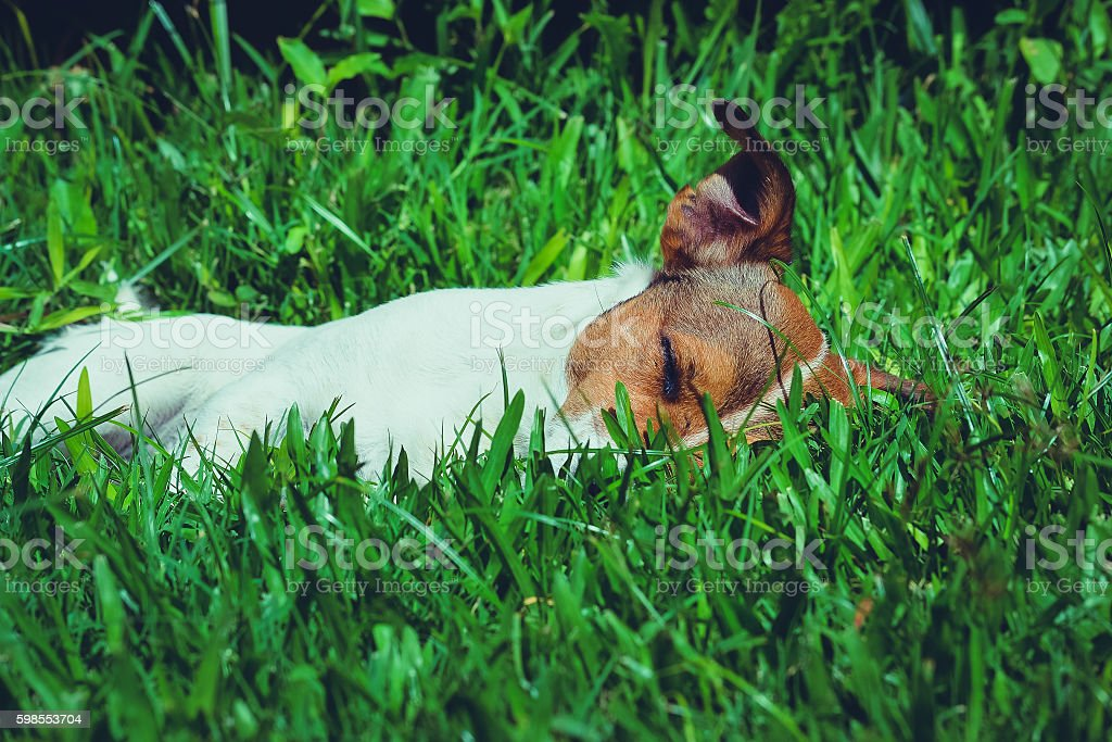 Jack Russell Terrier dog grass sleeping stock photo