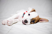 jack russell terrier dog  in bed