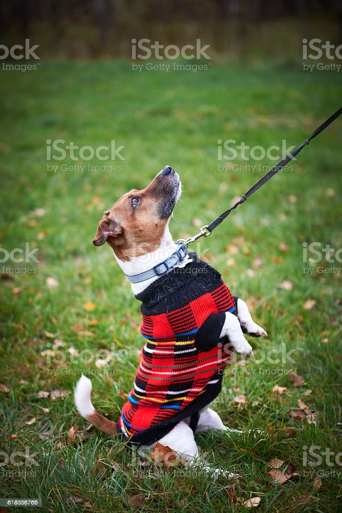 jack russell terrier dog in park looking up stock photo