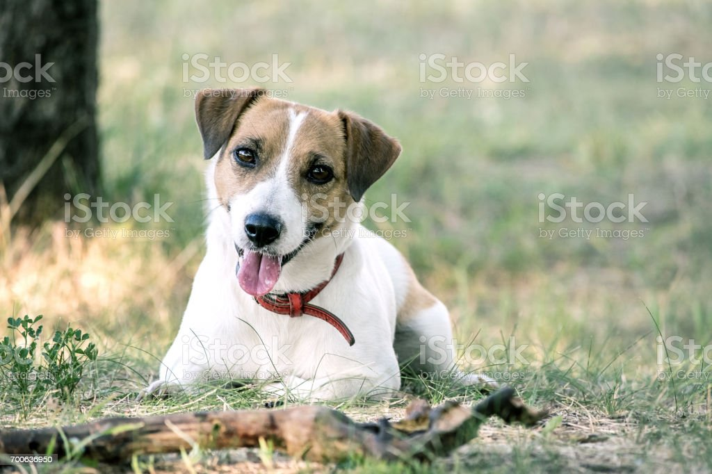 Jack Russell Terrier dog lying with a wooden stick on the grass in a summer park. A dog looking at the camera stock photo