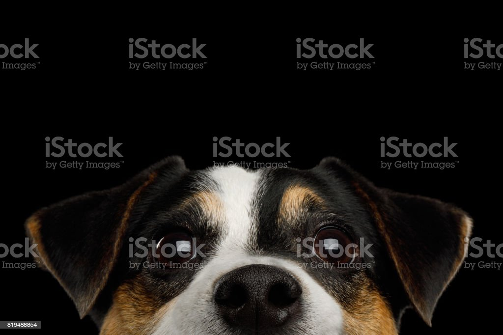 Jack Russell Terrier Dog on Black background stock photo