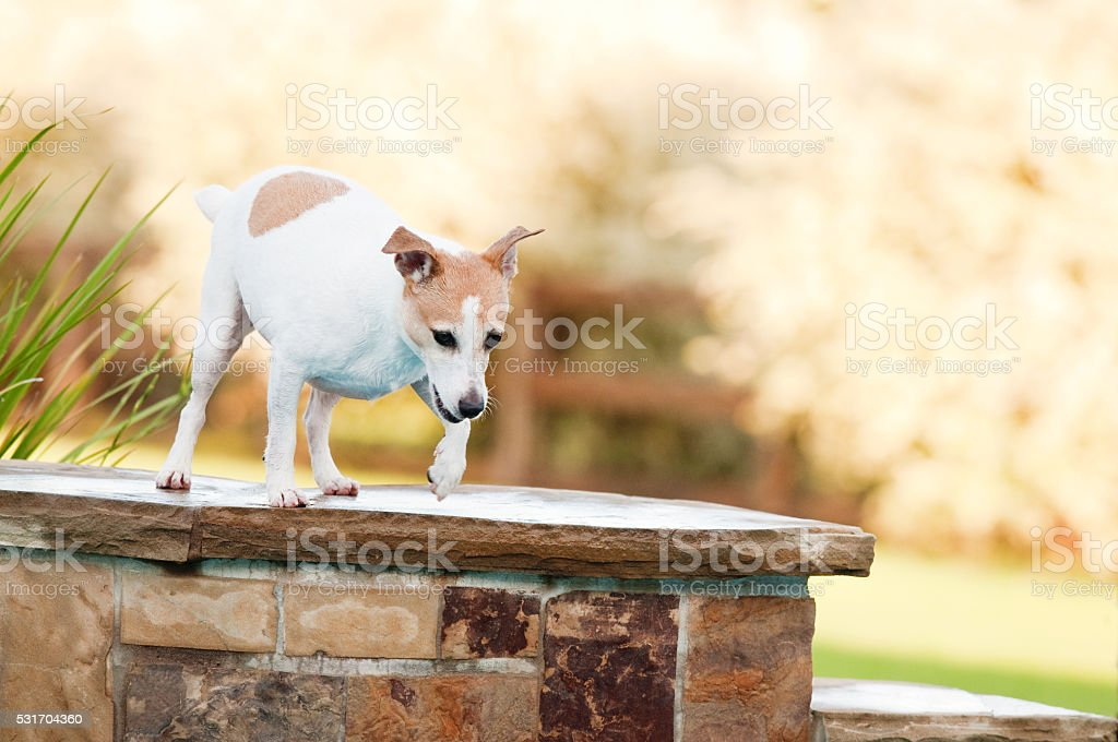 Jack russell terrier dog on the edge of a swimming stock photo