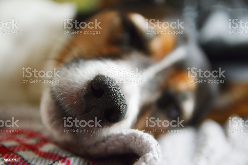 a Jack Russell terrier dog sleeping on a blanket with bohkeh abstract