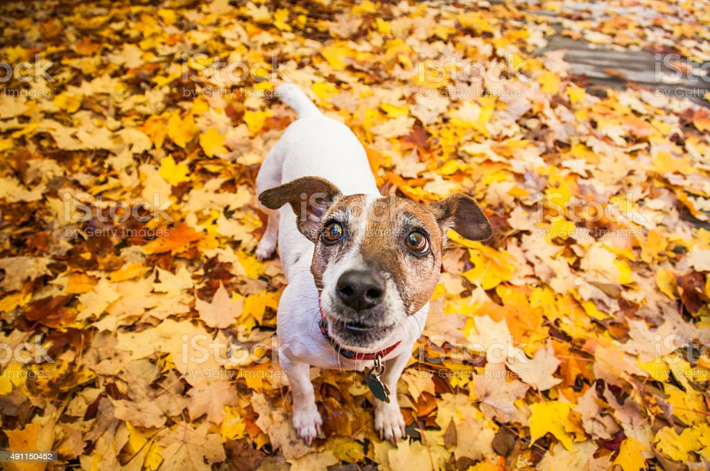 Jack Russell Terrier dog standing on Autumn maple leaves surface stock photo