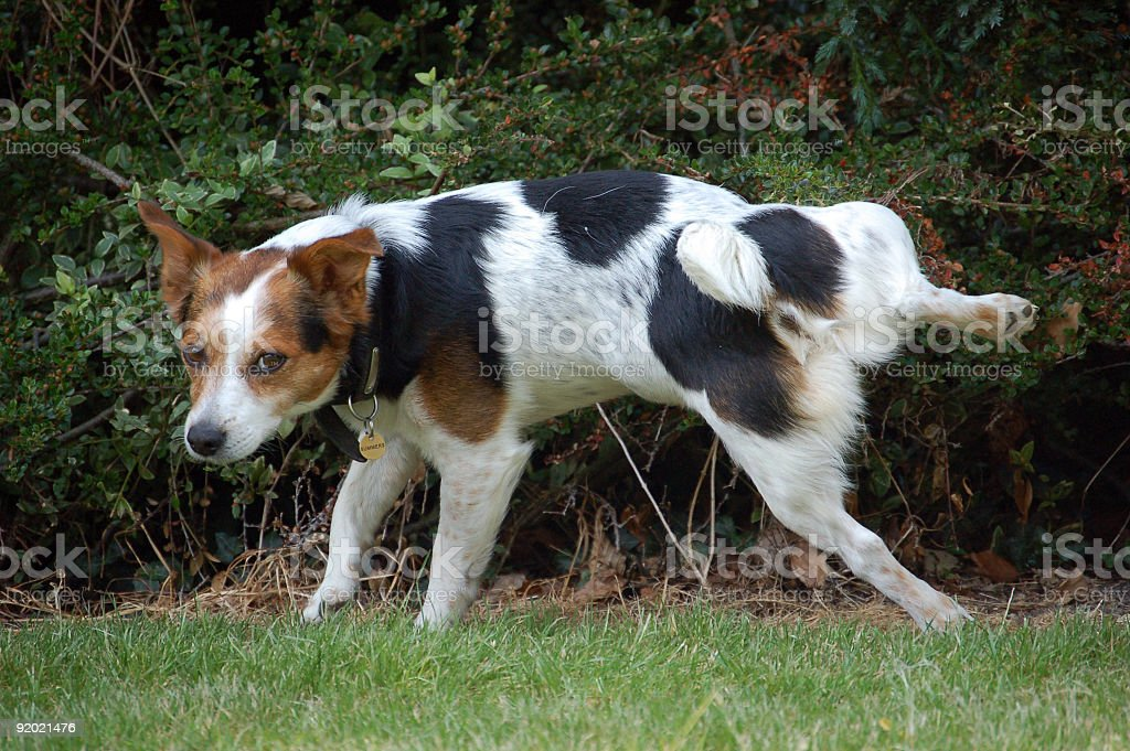 Jack Russell Terrier Dog urinating on bush royalty-free stock photo