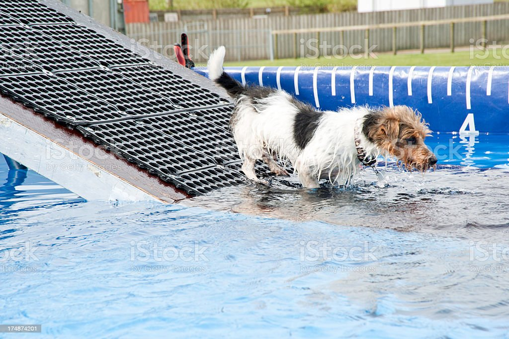 Jack Russell terrier entering a swimming pool royalty-free stock photo