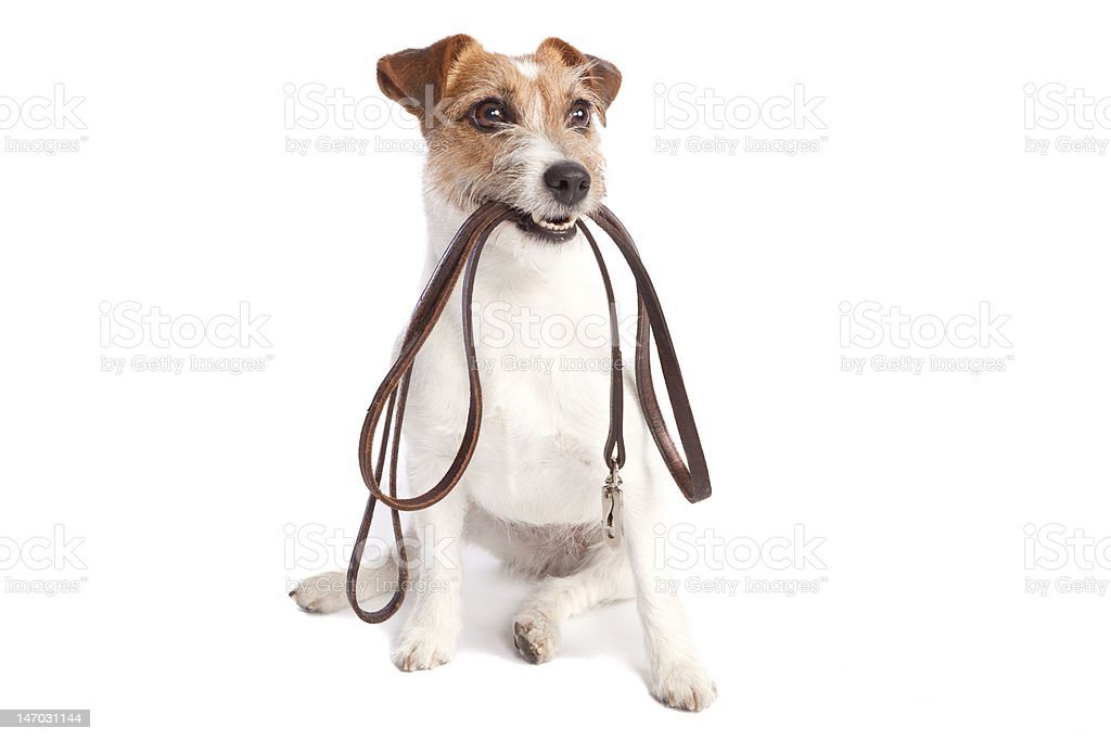 jack russell terrier holding leach stock photo