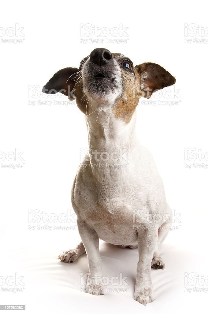 Jack Russell Terrier Howling stock photo