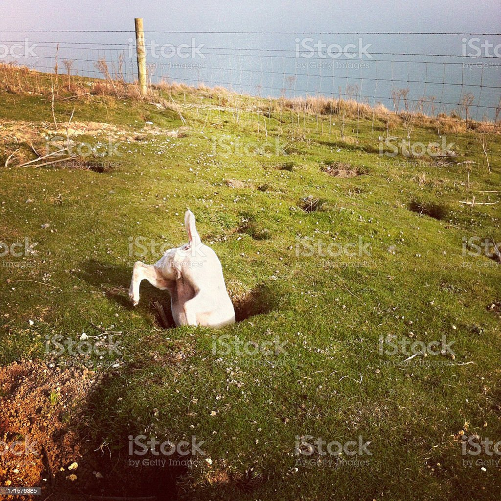 Jack russell terrier in a rabbit hole stock photo