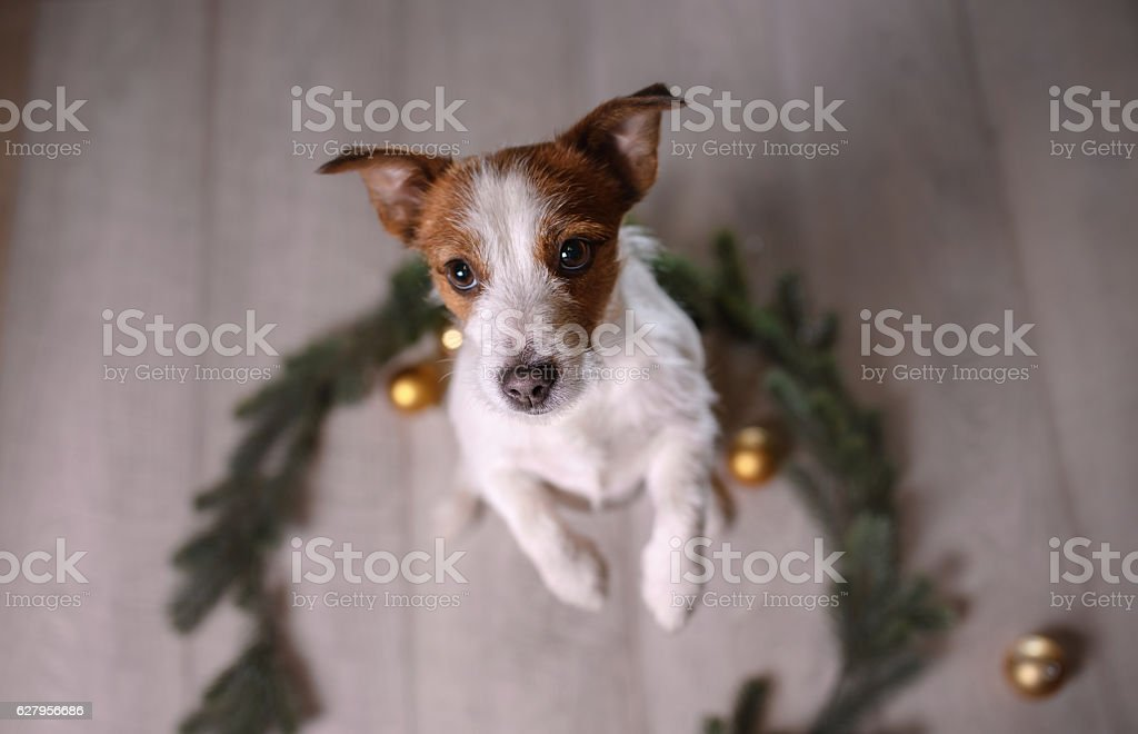 Jack Russell Terrier indoors stock photo