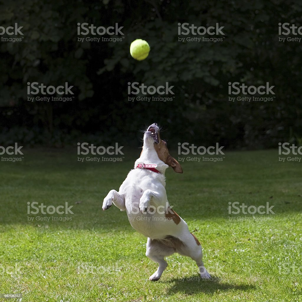Jack Russell terrier jumping for a ball royalty-free stock photo