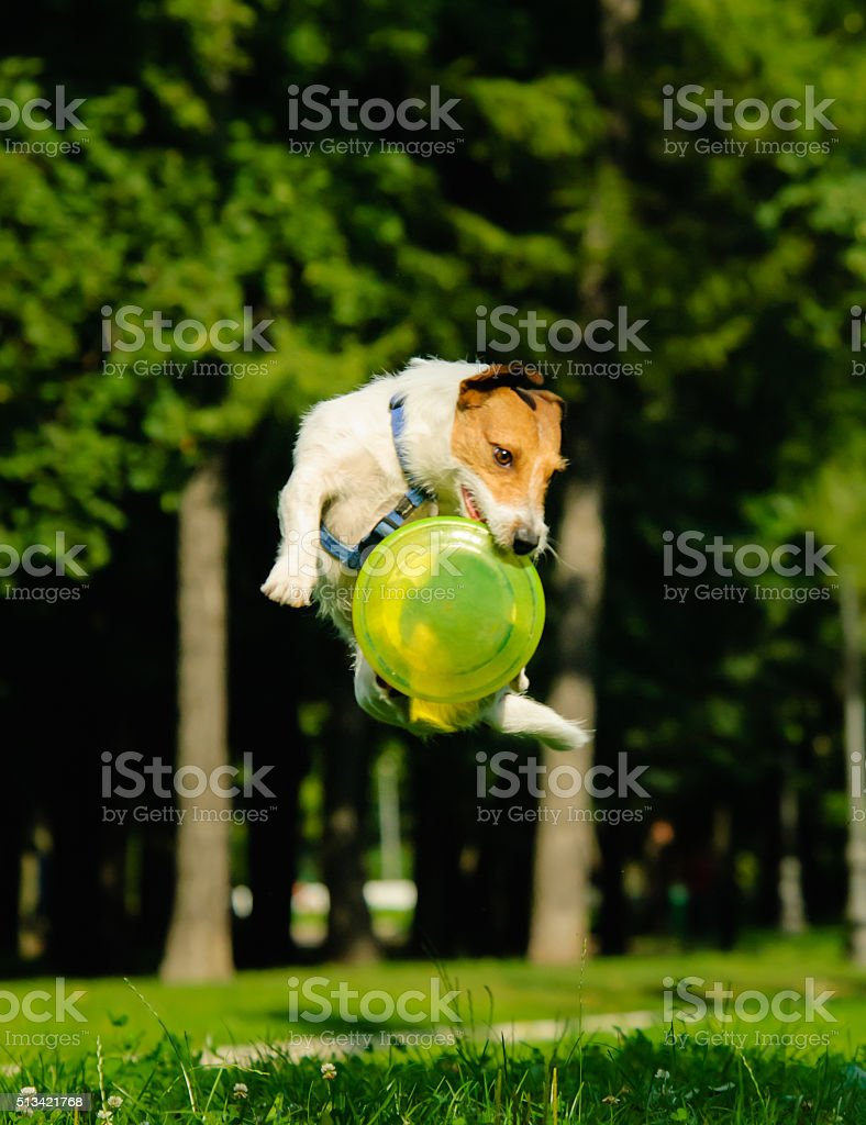 Jack Russell Terrier jumping with flying disk (grouped jump) stock photo