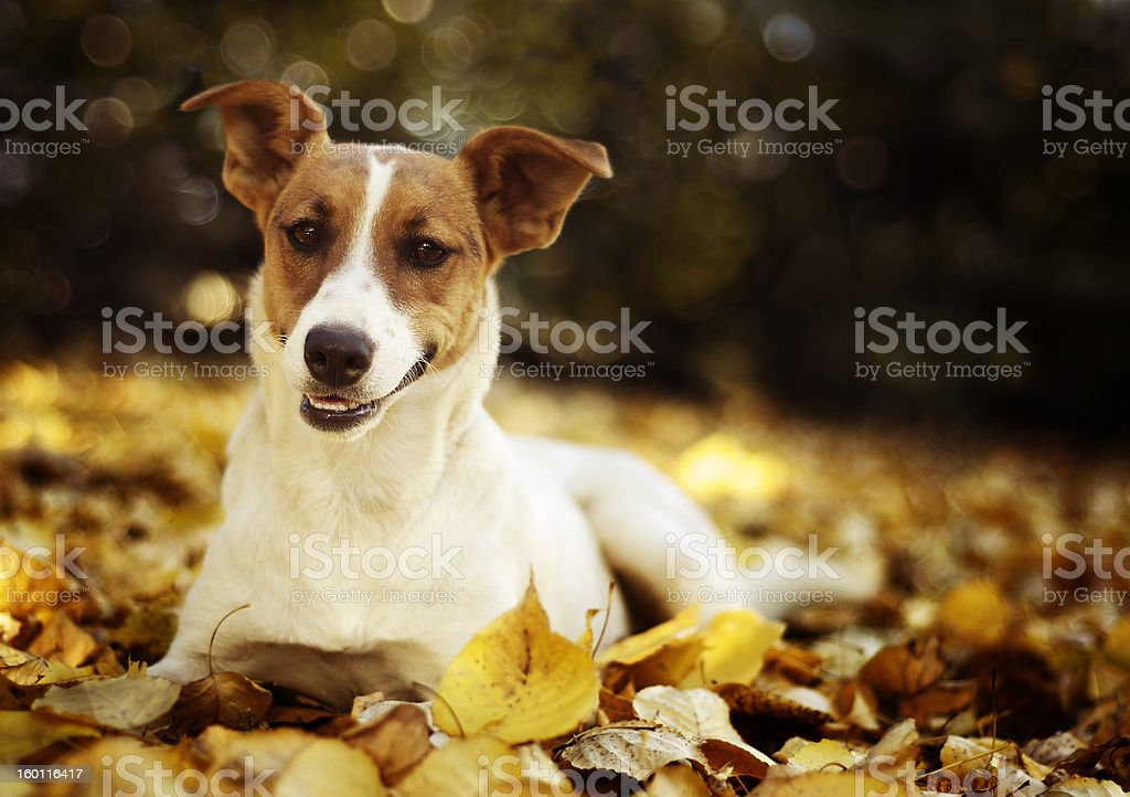 Jack Russell Terrier Lying in Autumn Leaves royalty-free stock photo