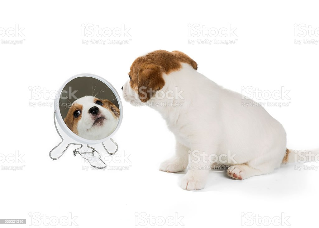 Jack Russell Terrier mirror stock photo