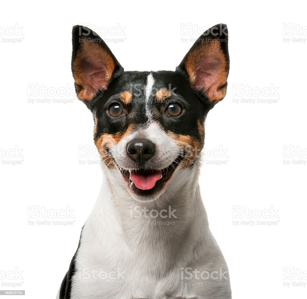 Jack Russell Terrier (7 years old) stock photo