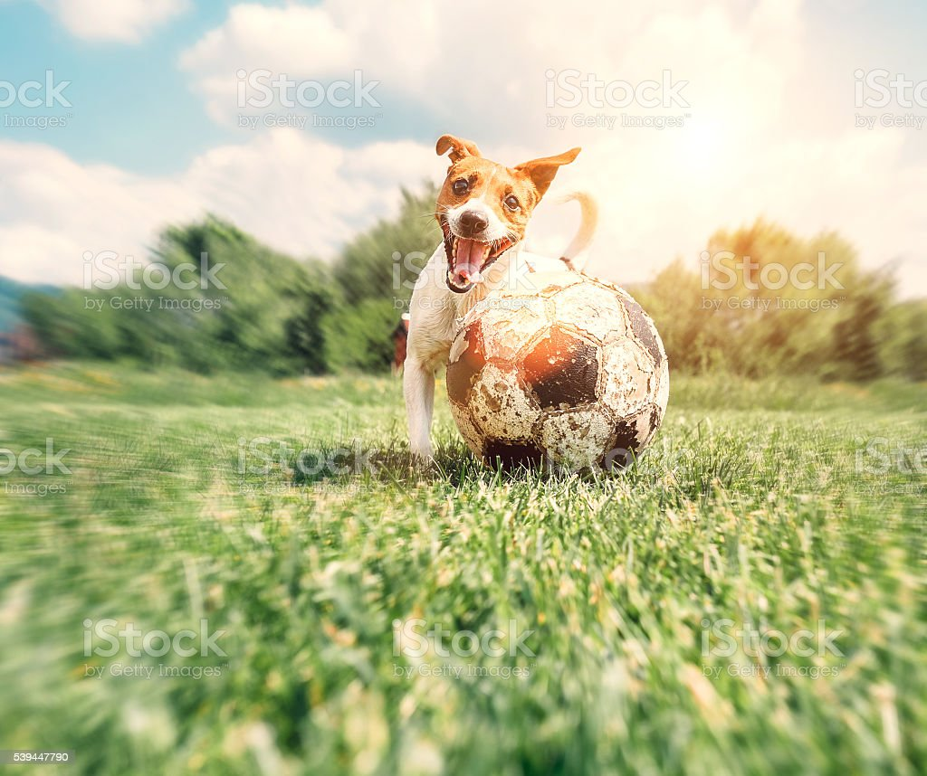 Jack Russell Terrier play with big old ball stock photo