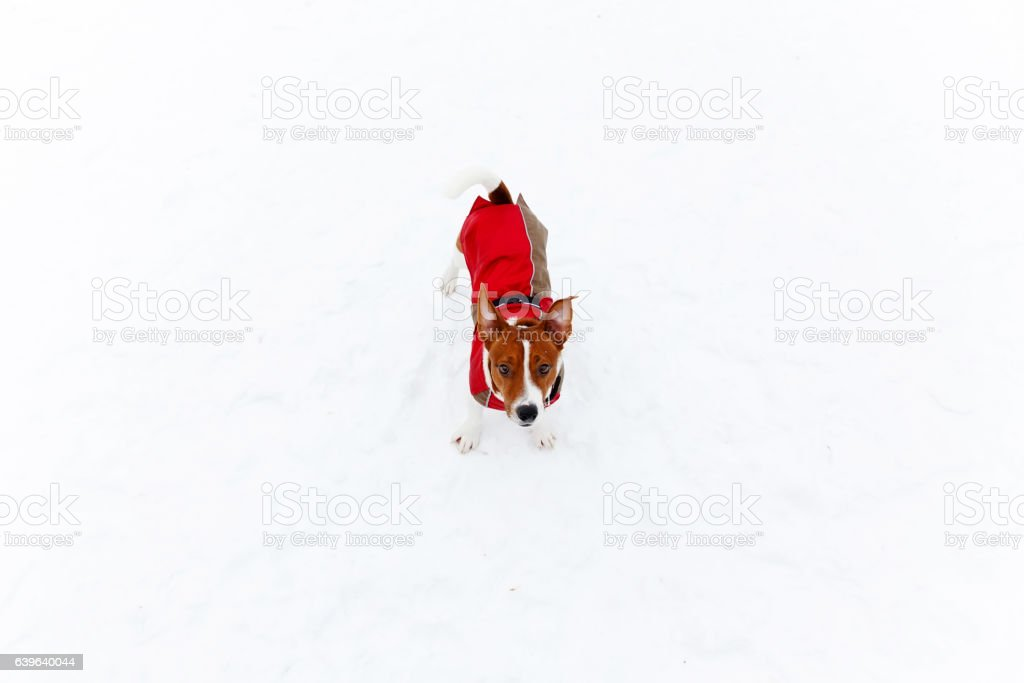 Jack Russell Terrier playing in the winter stock photo