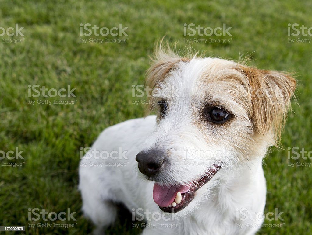 Jack Russell Terrier Portrait royalty-free stock photo