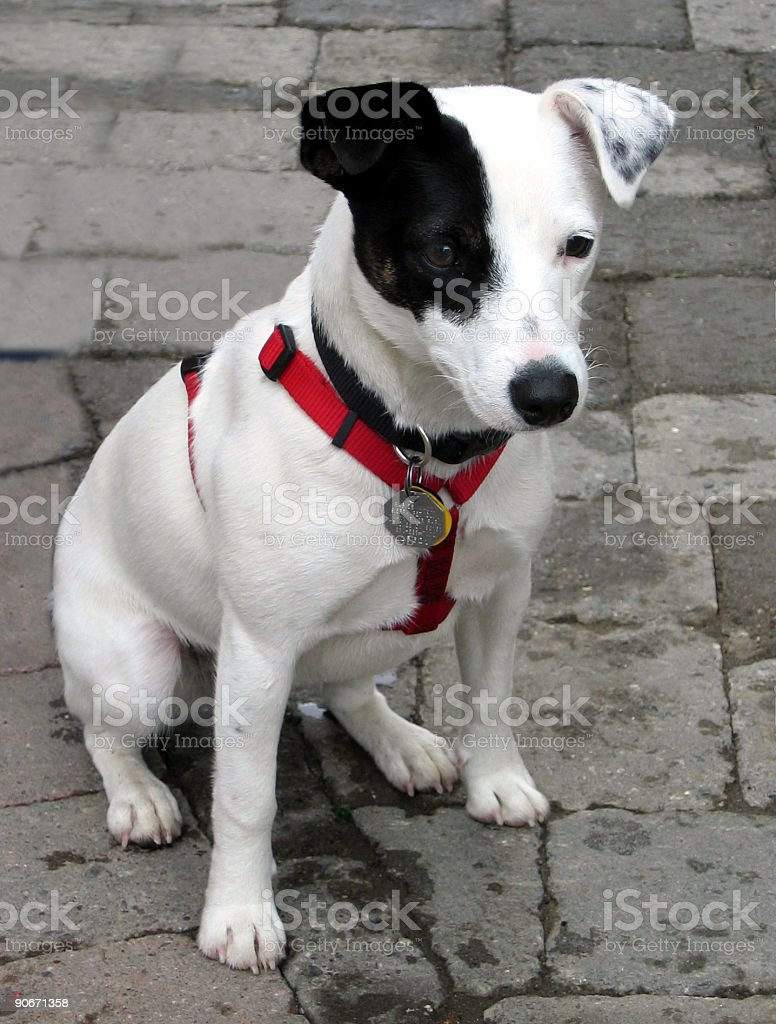 Jack Russell Terrier Pup stock photo