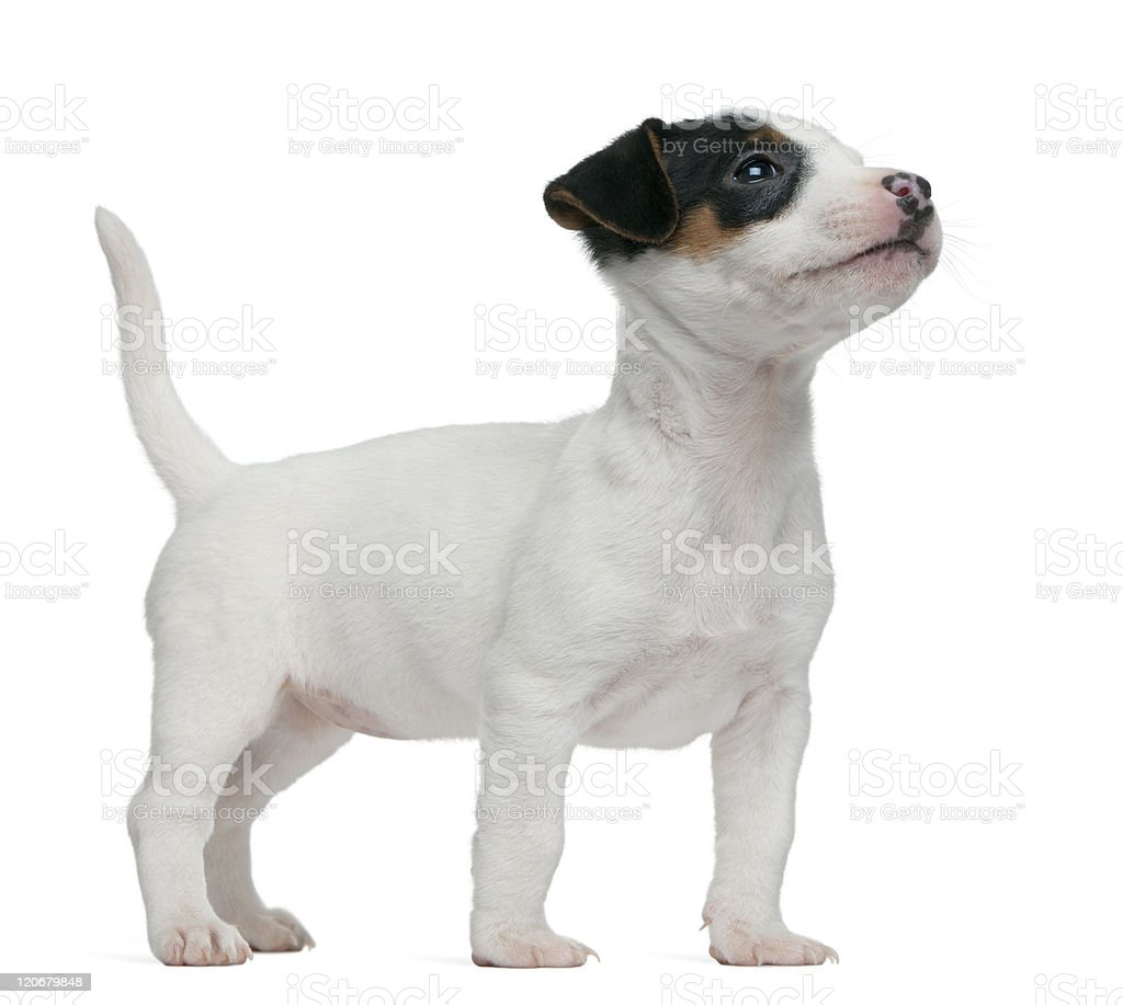 Jack Russell Terrier puppy, 7 weeks old, standing, white background. royalty-free stock photo