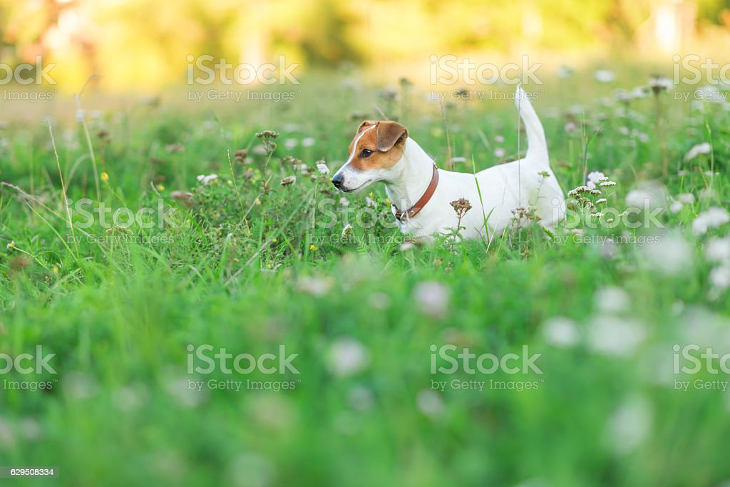 Jack Russell Terrier puppy in the grass stock photo