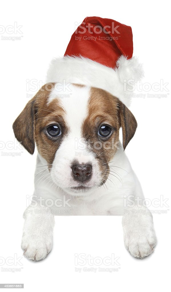 Jack Russell terrier puppy in xmas red hat stock photo