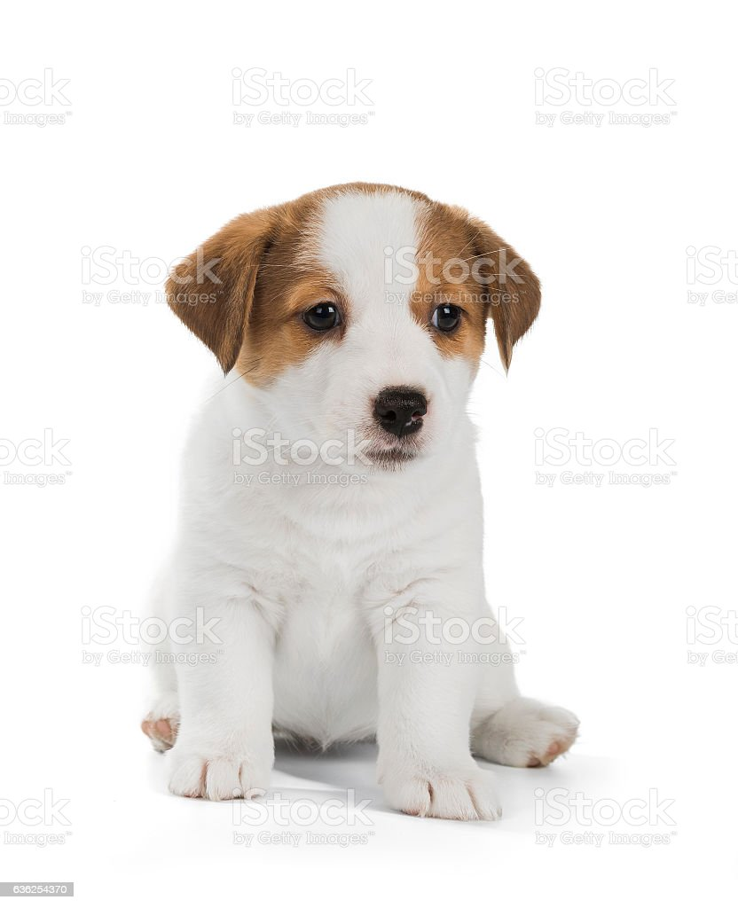 Jack Russell Terrier puppy isolated on white background stock photo