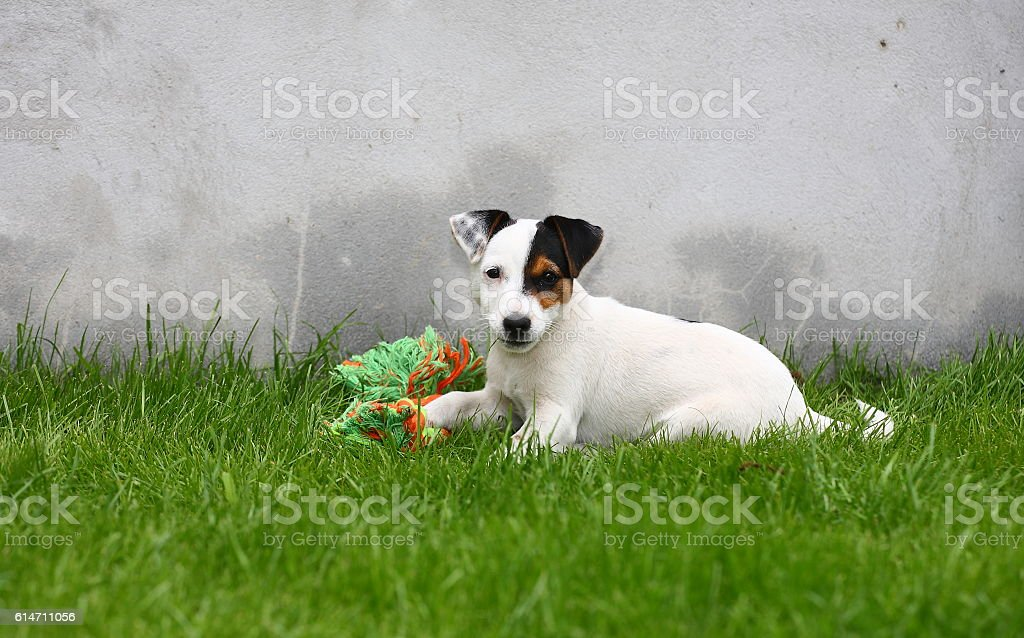 Jack Russell Terrier puppy on grass. stock photo