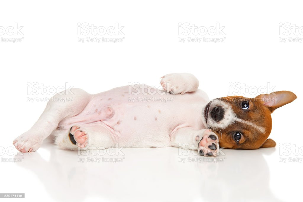 Jack Russell Terrier puppy on white stock photo