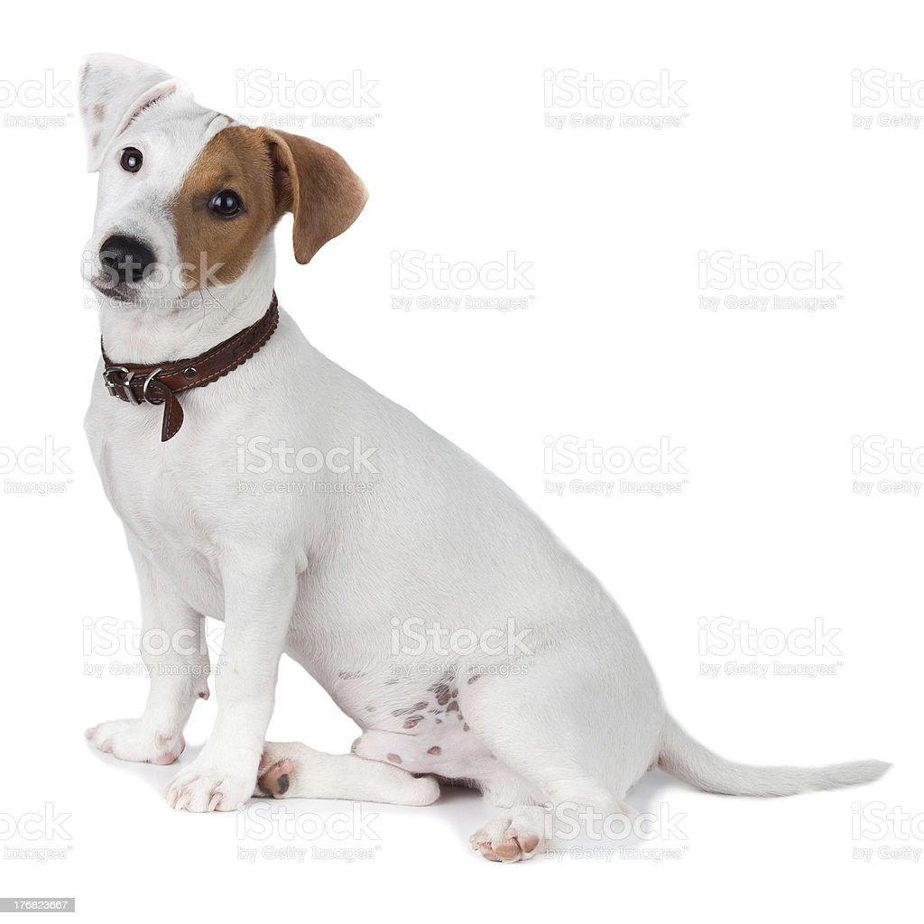 Jack Russell terrier, puppy royalty-free stock photo
